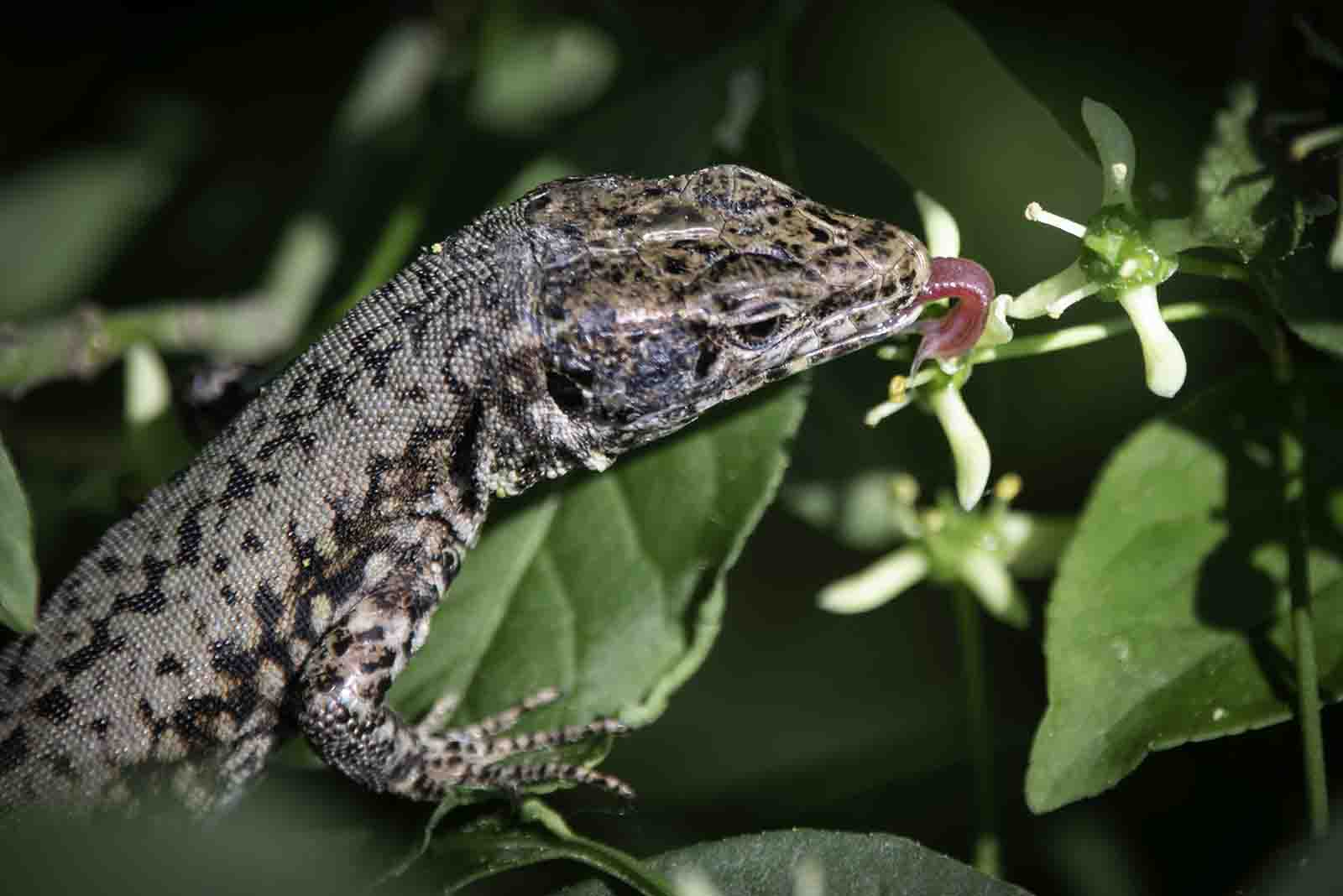Mit seiner gespaltenen Zunge leckt dieses Mauereidechsenweibchen genüsslich Nektar aus der Blüte des Pfaffenkäppchens.