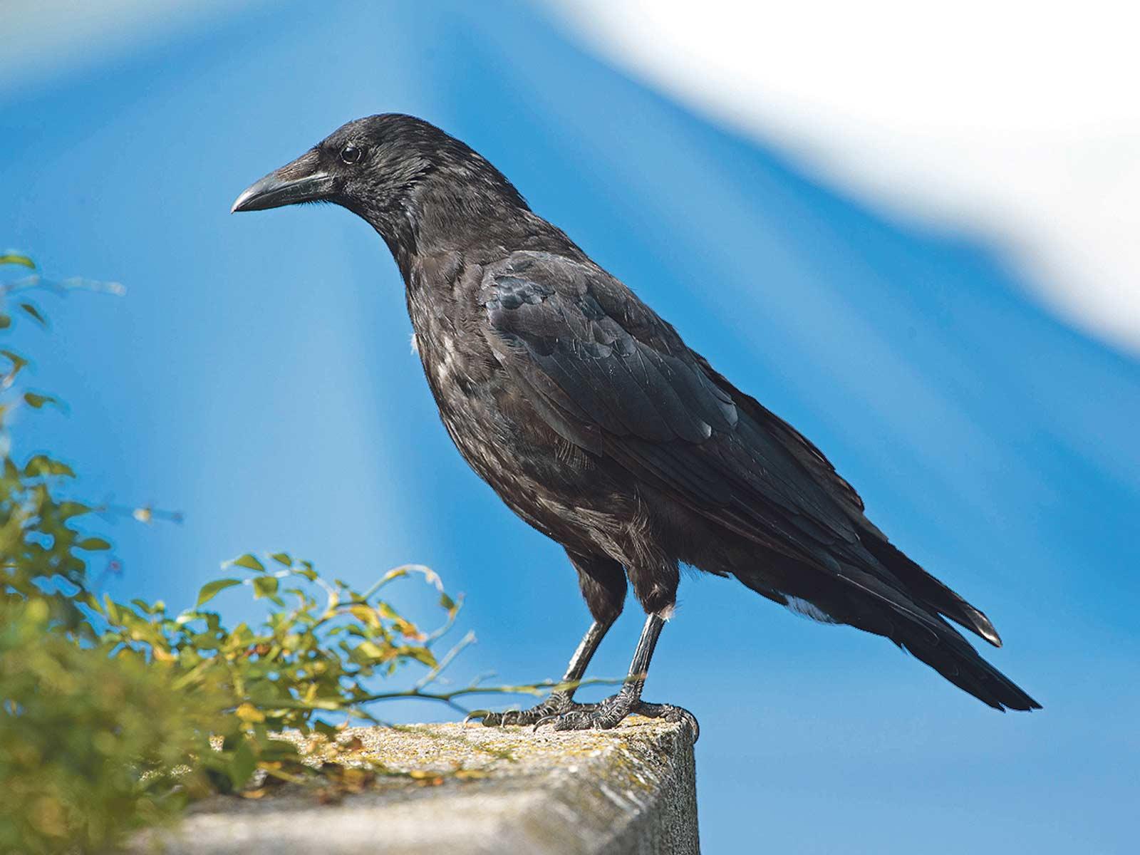 Rabenvögel