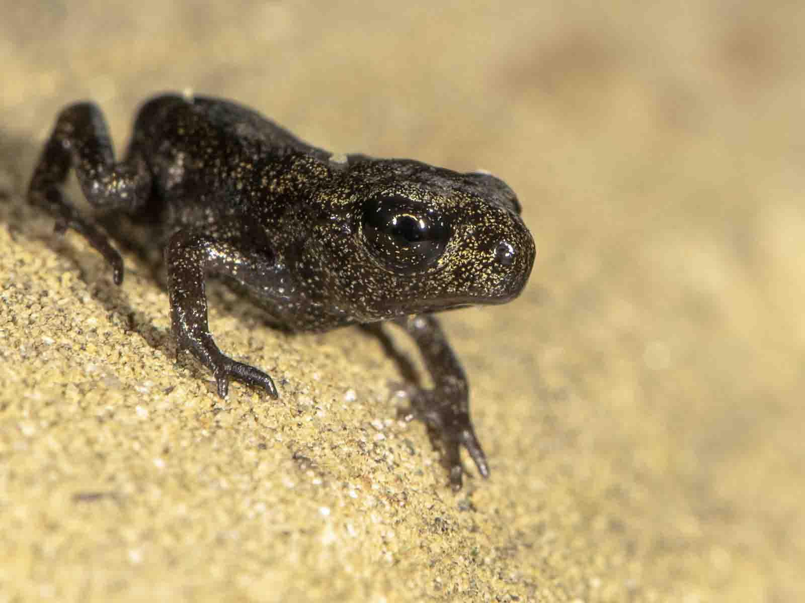 Beim ersten Schritt vom Wasser aufs Land sind Erdkröten kaum grösser als ein Reiskorn.