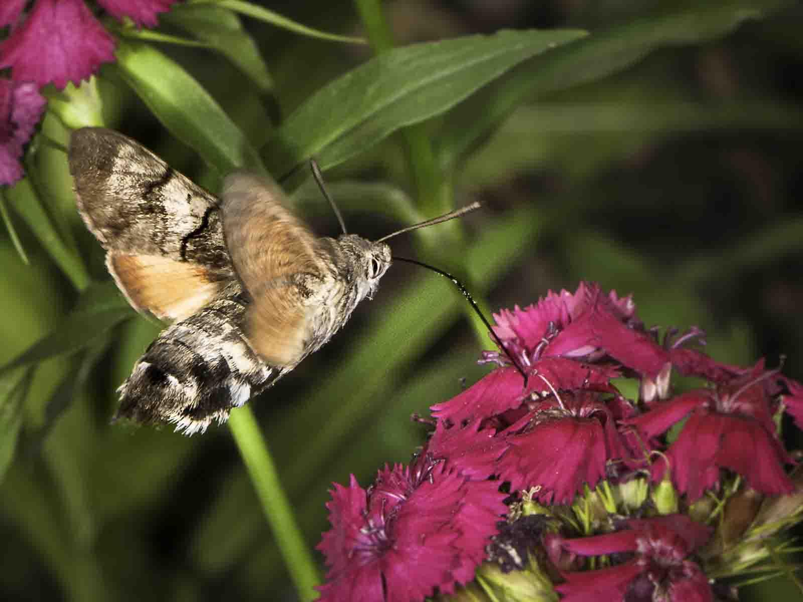 Mit Hilfe der langen Schuppen am Hinterleib, die an Schwanzfedern von Tauben erinnern und denen das Taubenschwänzchen seinen Namen verdankt, steuert es mit ausgerolltem Rüssel zielgenau vor der Bartnelkenblüte.