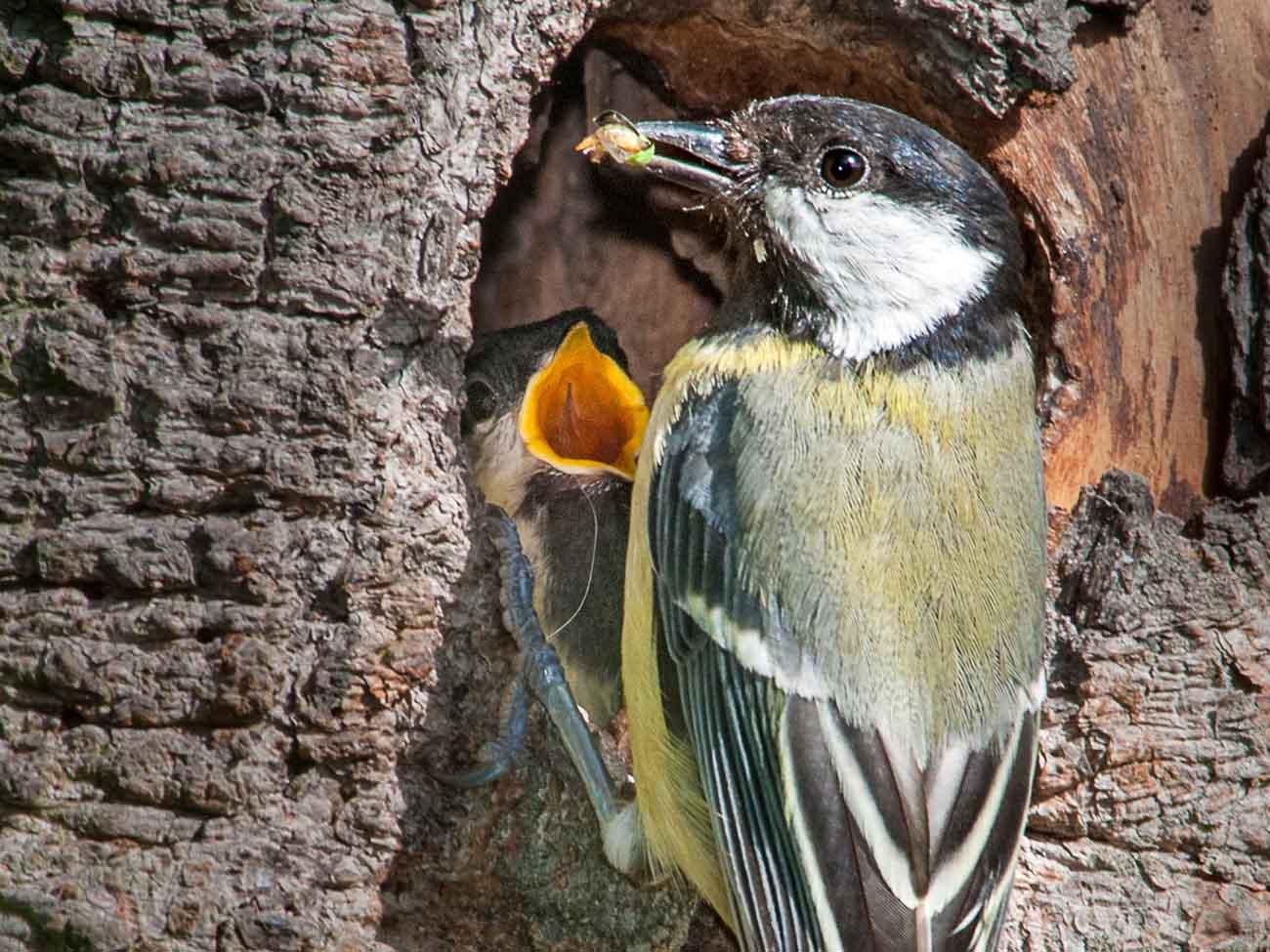 Kohlmeisen können zwölf Jahre alt werden. Die 18 Tage im Nest sind nicht einmal ein halbes Prozent ihres Lebens.