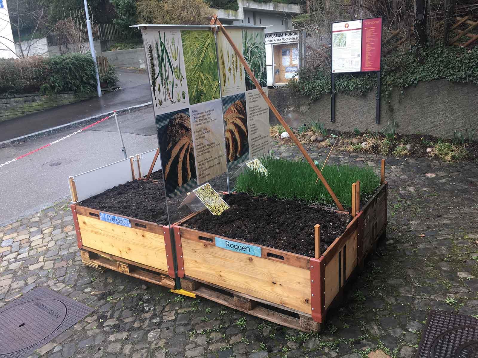 Das Hochbeet der Ausstellung «Das Brot der Höngger» mit den Getreidesorten Weizen, Roggen, Dinkel und Gerste.