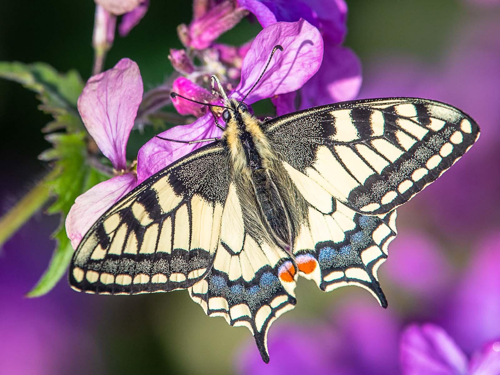 Papilio machaon beim Nektarsaugen.