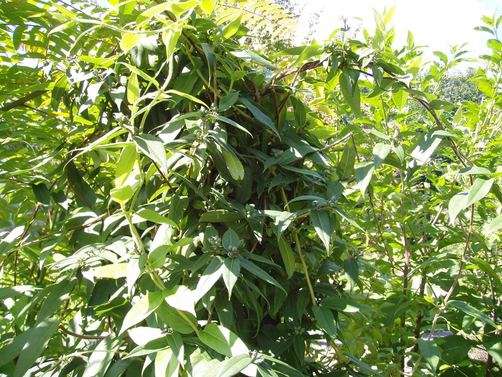 Das rasche Wachstum des Neophyten «Henrys Geissblatt» führt zu Dickichten, die die Waldverjüngung behindern.