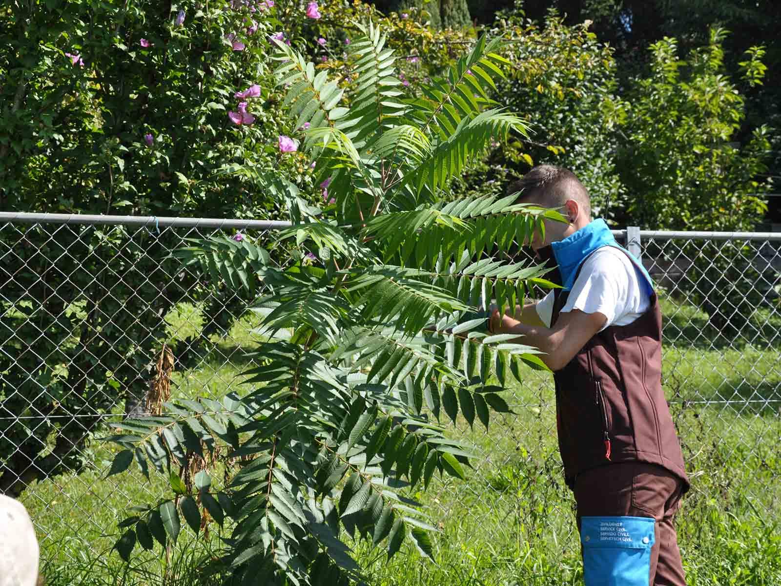 Ein Zivildienstleistender beim Entfernen eines Essigbaums.
