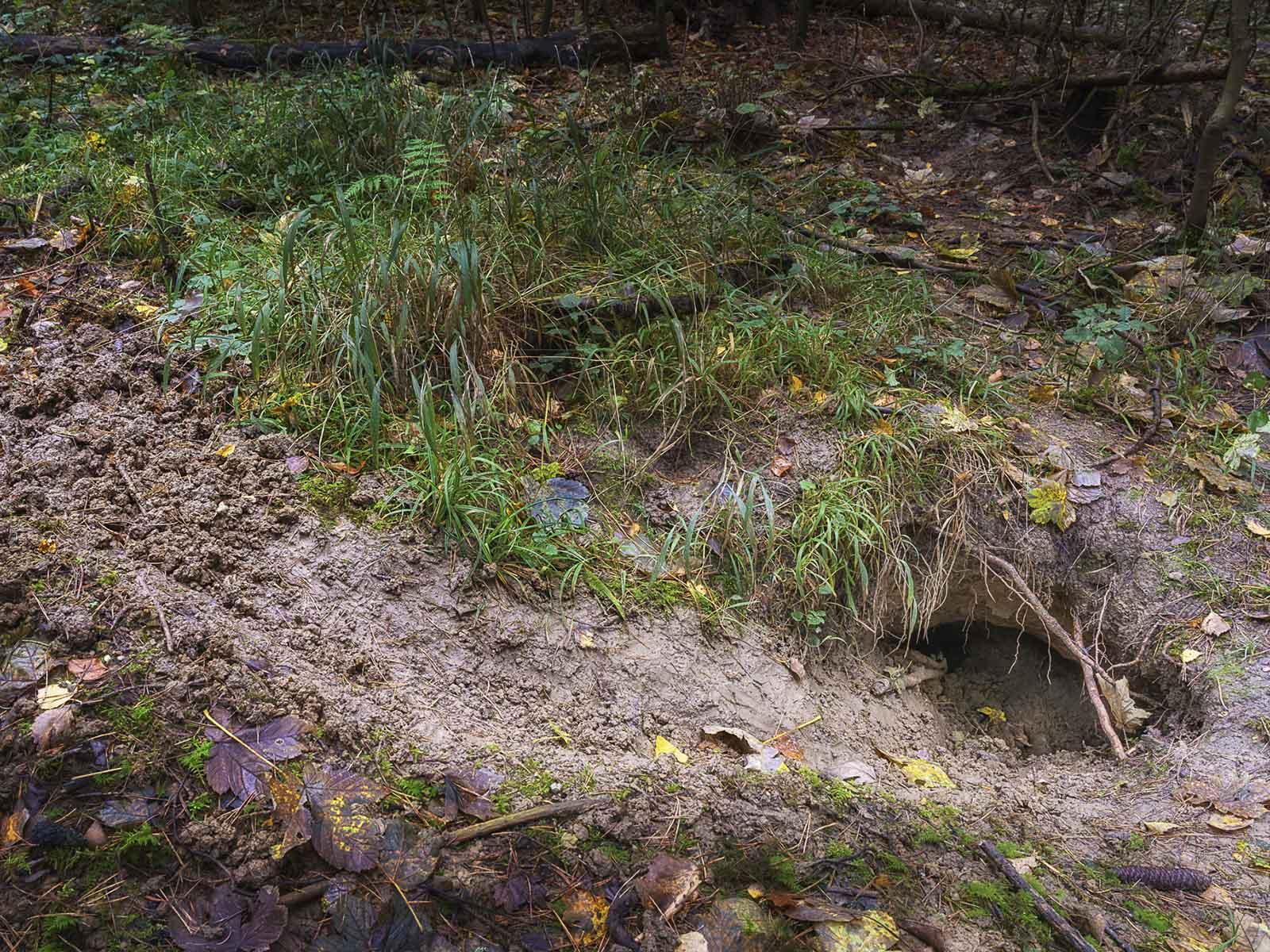 Hönggerwald: Die Rinne zeugt von reger Grabtätigkeit.