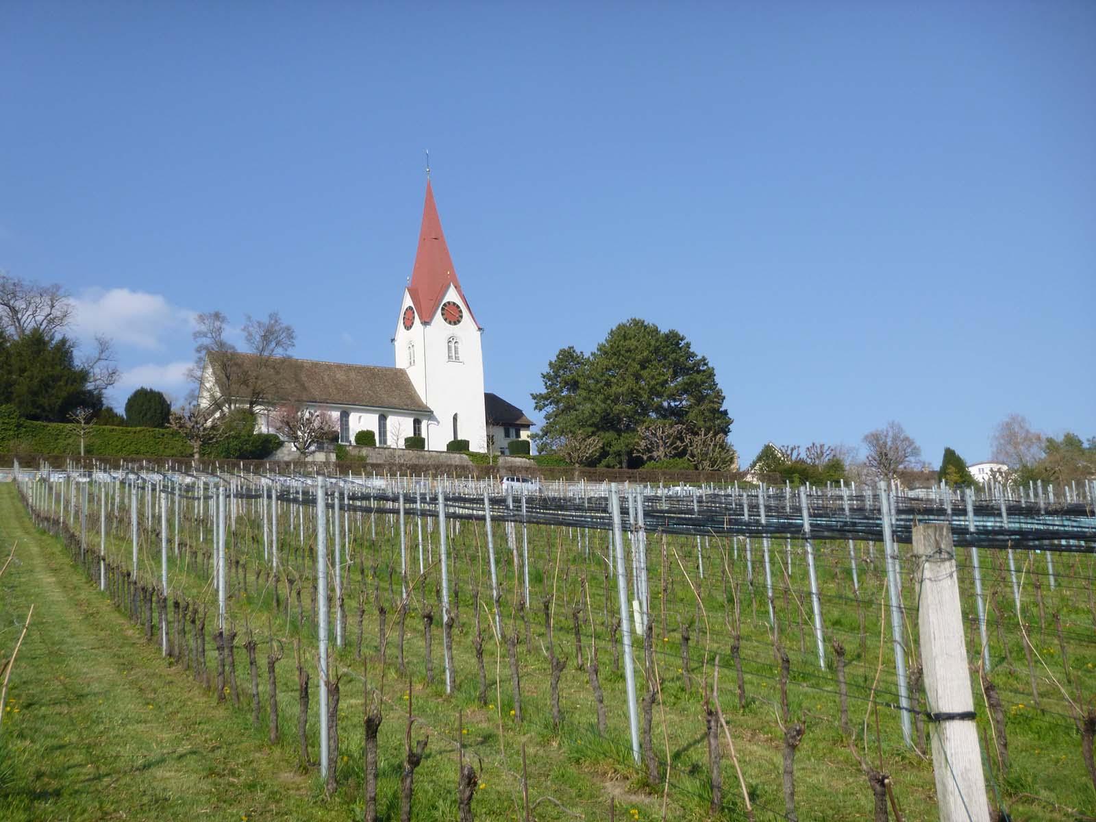 Der grösste Weinberg in Höngg liegt unterhalb der reformierten Kirche und umfasst rund 13 Hektar.