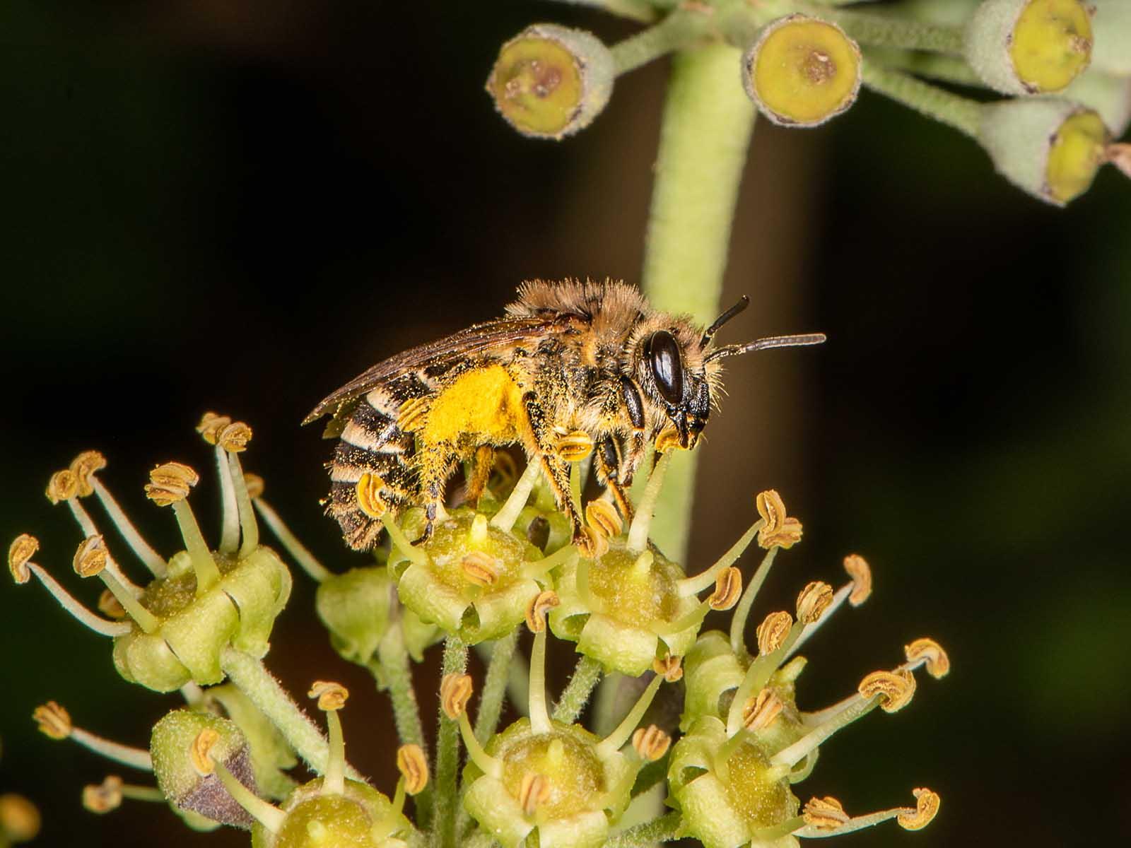 Genüsslich beisst die Efeu-Seidenbiene Staubbeutel auf und sammelt den Pollen in den gelben Höschen.
