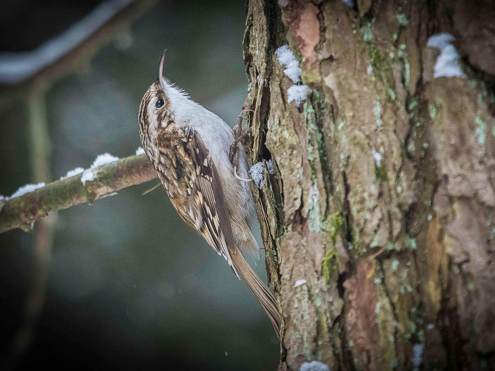 Mit scharfen Krallen verankert und vom Stützschwanz gesichert, hüpft der Baumläufer aufwärts.