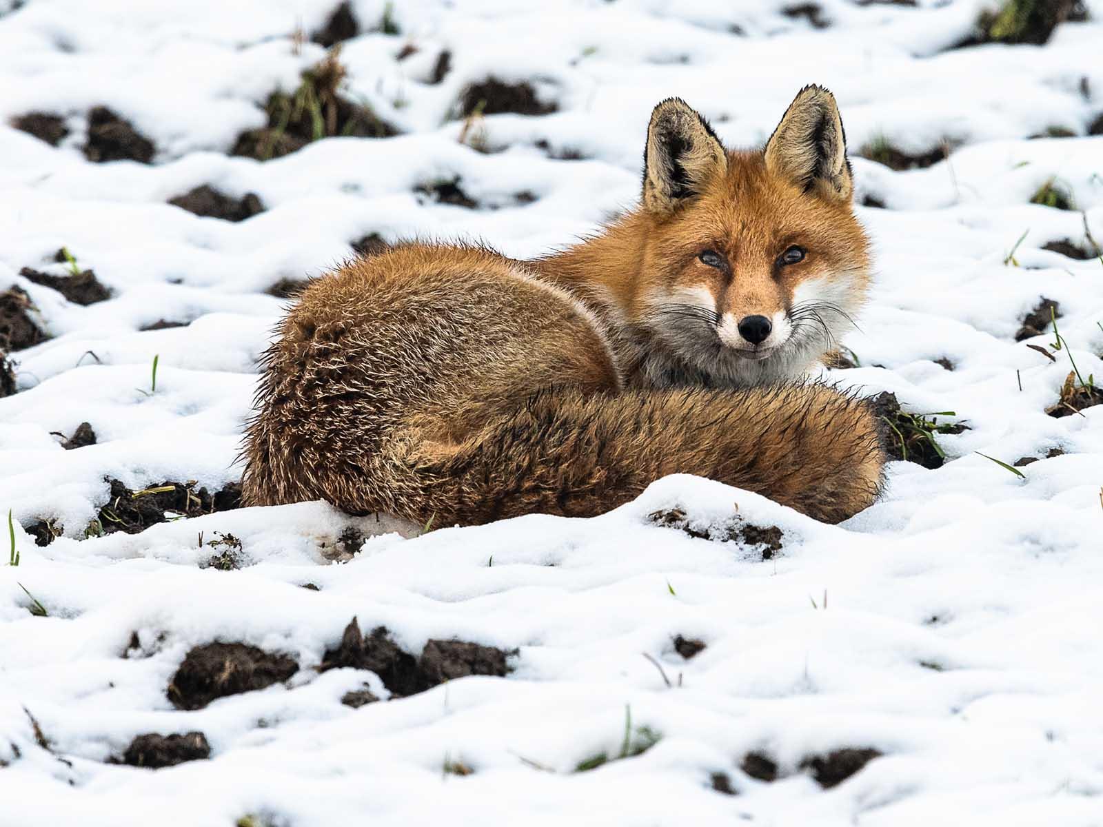 Wohlig liegt sichs mit Winterfell im Schnee.