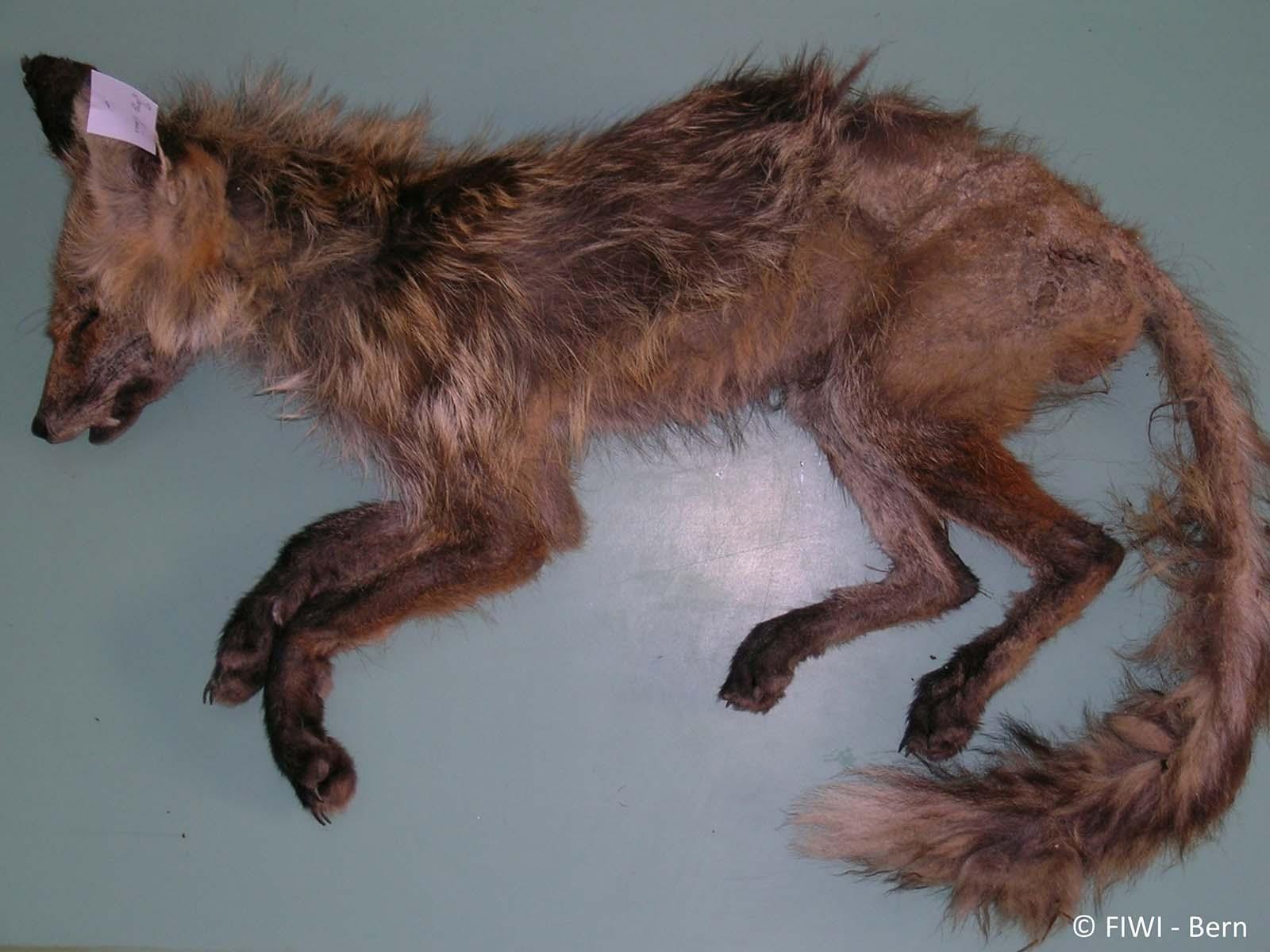 Kadaver eines an Räude erkrankten Fuchses.