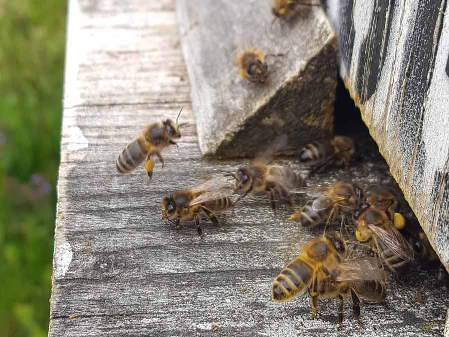Jetzt fliegen sie wieder: Bienen bringen Nektar und Pollen nach Hause.